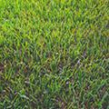 St Augustine Grass