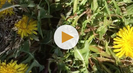 How to Identify and Treat Dandelions