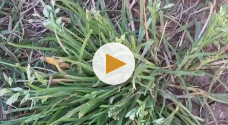 How to Identify and Treat Grassy Weeds