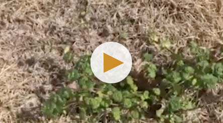 How to Identify and Treat Henbit