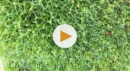 How to Identify and Treat Yellow Nutsedge