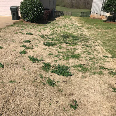 Damaged, patchy lawn from winter weeds like bluegrass and clover