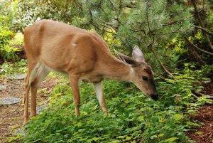 Deer eating plants in southern lawn