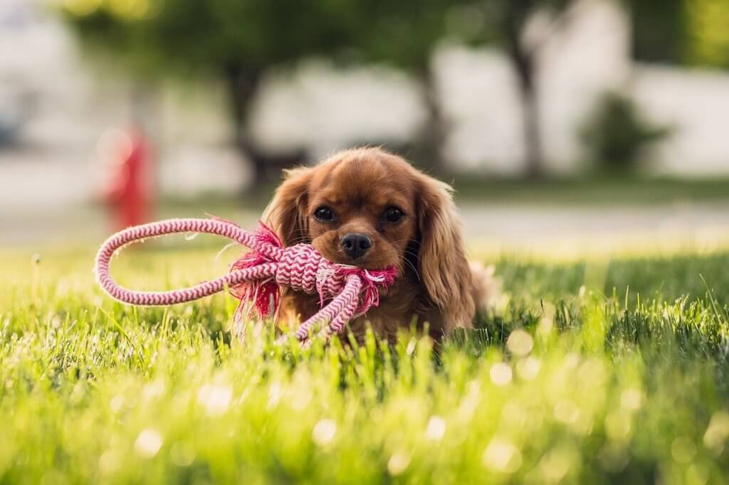 brown dog in green grass with toy