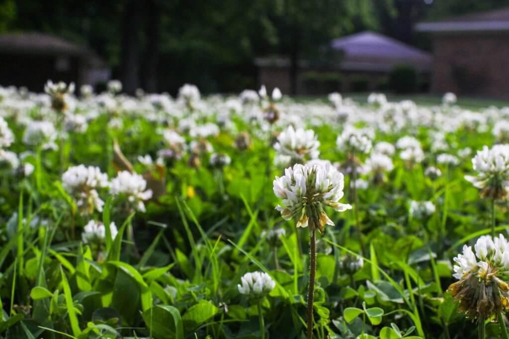white flower weeds